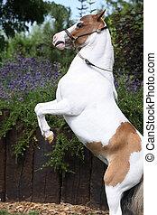 American miniature horse prancing - Skewbald American...