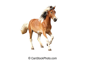Skewbald horse galloping free isolated on white background