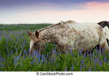 skewbald, pferd, gleichfalls, früh morgens, weiden lassen, auf, a, wiese