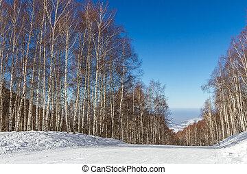 ski runs through a birch grove