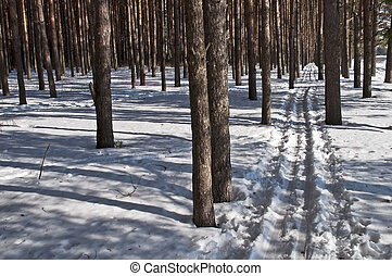 Ski track in a pine forest