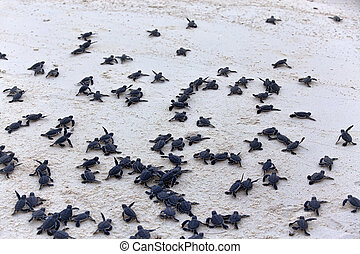 skildpadde, hatchlings
