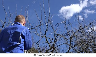skilled garden worker man climb on ladder and prune fruit tree branches
