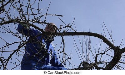Skilled gardener pruning the branches of apple tree in early...