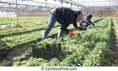 Experienced glasshouse owner gathering in crops of fresh green arugula. Harvest time