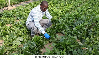 Skilled male farmer checking seedlings of spinach - Skilled ...