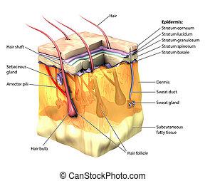 Skin 3D cut away - 3D skin oblique with cut away epidermis...