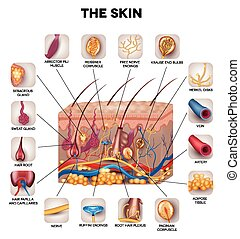 Skin anatomy, detailed illustration. Beautiful bright colors...
