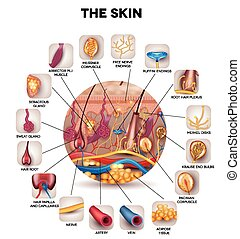 Skin anatomy in the round shape, detailed illustration. ...