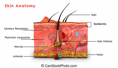 Skin anatomy - The human skin is the outer covering of the ...
