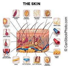 Skin anatomy, detailed illustration. Beautiful bright...