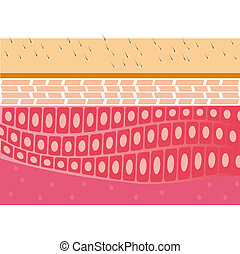 skin cross-section anatomy vector illustration