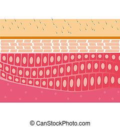 skin cross-section anatomy vector illustration