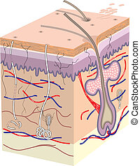 Skin cross section - Cross section of human skin without ...