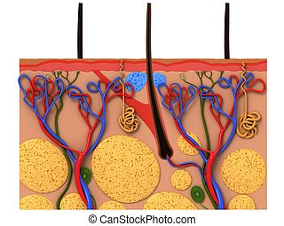 3d rendered anatomy illustration of a skin cross section