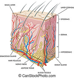 Skin - medical illustration of the section of skin