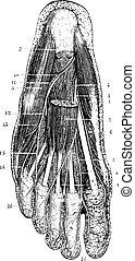 skinn, lag, engraving., sula, yta, fot, årgång, flytande, ...