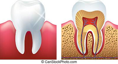 skinnende, tand, og, cutaway