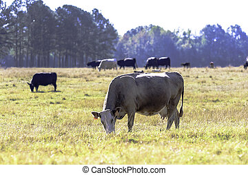 Skinny brood cow grazing with herd in background