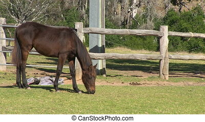 Skinny brown horse eating on a ranch - A steady full shot of...