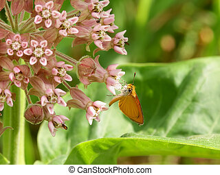 Skipper Butterfly on Flower