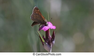 Skipper collect the nectar - Carthusian pink - macro shot