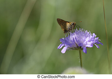 Skipper collect the nectar - Field Scabious - macro shot