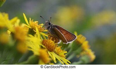 Skipper - Hesperiidae - Skipper in food intake - Macro