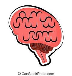 skiss, brain., isolerat, mänsklig, färgad