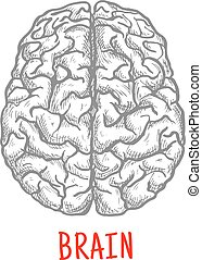skiss, mänsklig, topp, stil, hjärna, synhåll