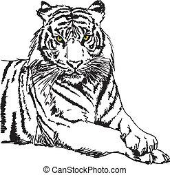 skiss, vektor, vit, illustration, tiger.
