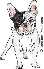 skitse, buldog, art, hjemlig hund, fransk, vektor