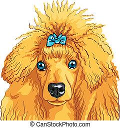 skizze, farbe, rasse, hund, franzoesischer pudel, vektor, rotes