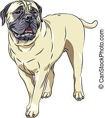 skizze, sta, rasse, inländisch, bullmastiff, hund, vektor, porträt