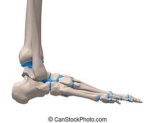 skleetal foot - 3d rendered illustration of a human skeletal...