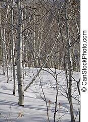 skog, -, asp, vinter, snö