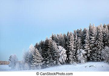 skog, med, gran, träd, täckta i snö, och, rimfrost köld, på, kall, dimmig, vinter, kväll