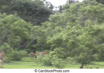 skokowy, impala