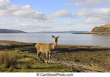 skotska språket, röda hjortar, hind, hos, den, havsshore