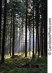 skov, i, fyrre træ, belyst, af, sunbeams