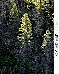 skov, i, fyrre træ, formiddag, lys