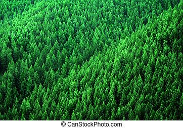 skov, i, fyrre træ, ind, vildmark, bjerge