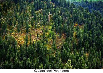 skov, i, fyrre træ, ind, vildmark, bjerge, landskab