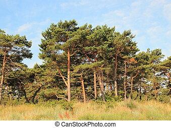 skov, i, fyrre træ, og, vild, leymus, cigarettet