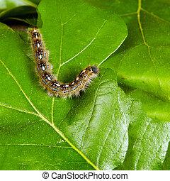 skov, telt, caterpillar, moth
