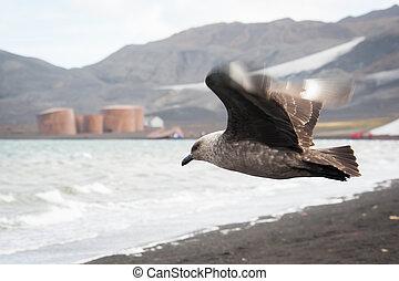 Skuas flying on Deception island