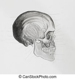 skull., 医学的图解, 人类, 边观点