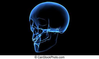 Skull - 3d animated human skull