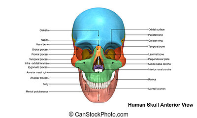 Skull Anterior view - The human skull is generally...