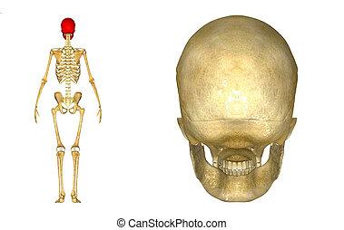 Skull back view
